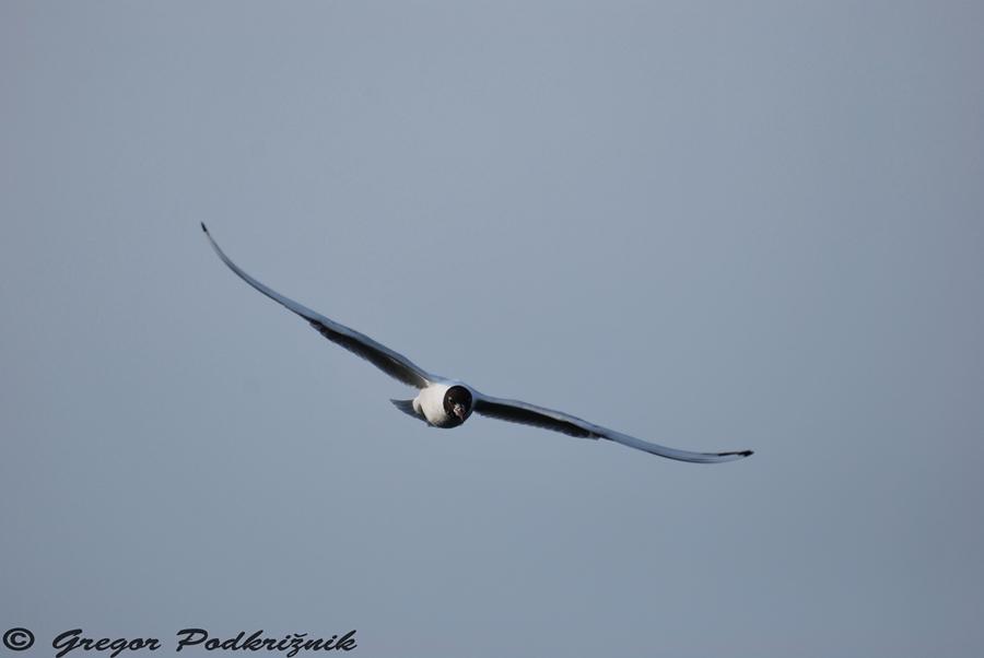 Svoboden kot ptica