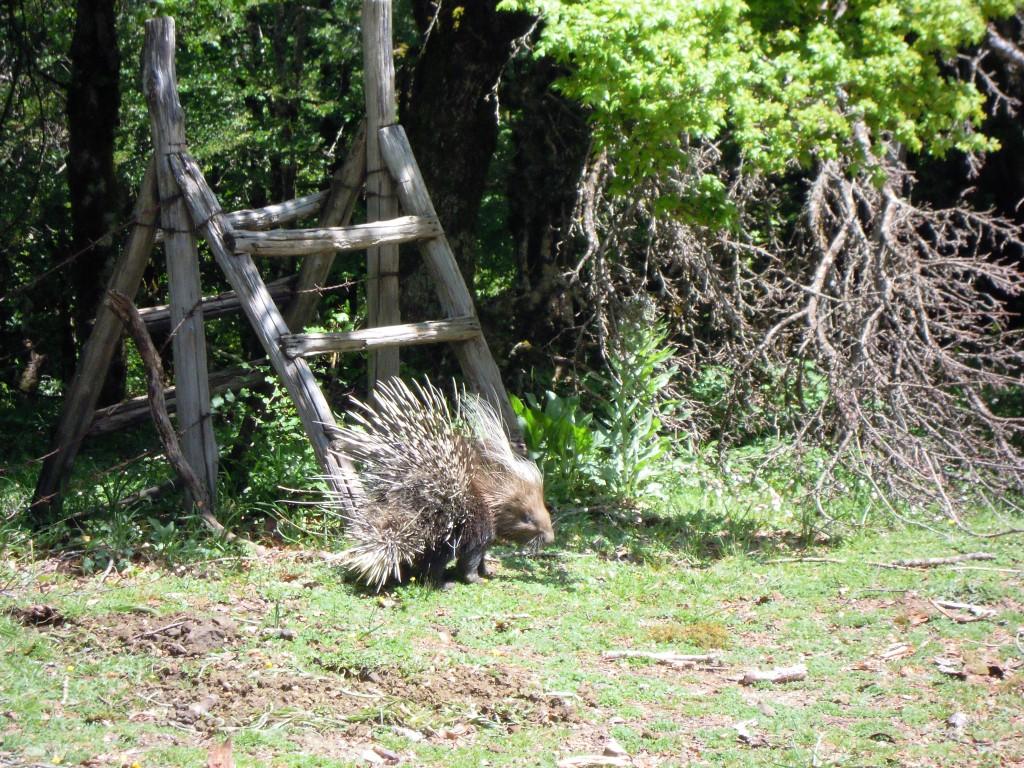 3. Ježevec v Parco dei Nebrodi