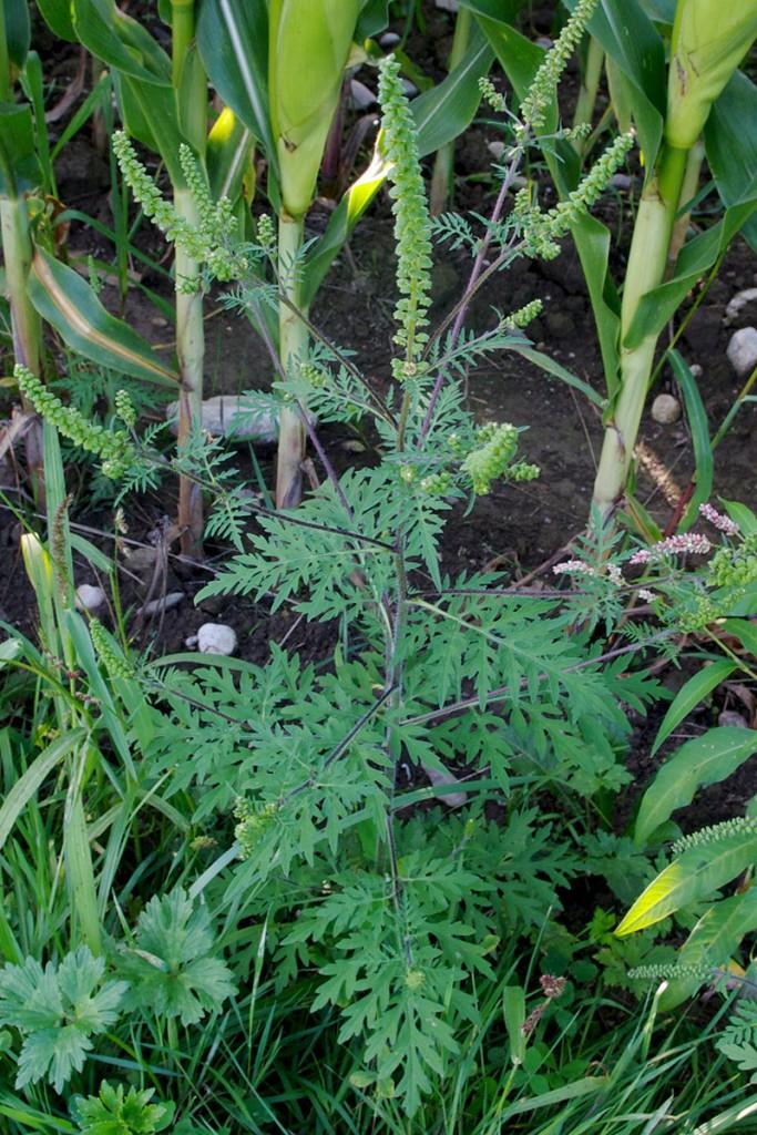Pelinolistna žvrklja (Ambrosia artemisiifolia) ali ambrozija