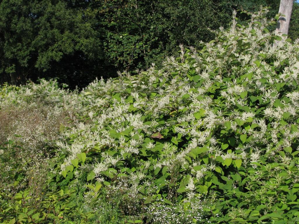 Cvetoči sestoj češkega dresnika fotografiran septembra.