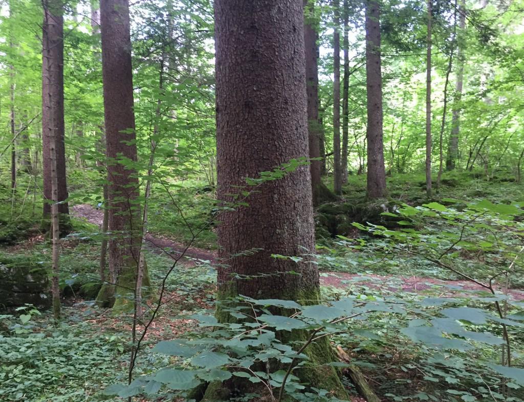 Na gozdni učni poti je veliko ... dreves.